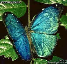 Single Blue Butterfly